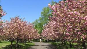 記念樹通りのヤエザクラ並木