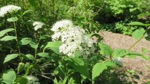 エゾノシロバナシモツケの花