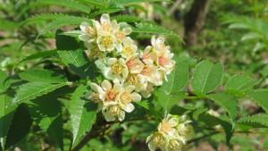 タカネナナカマドの花