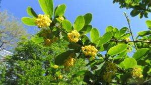 ヒロハノヘビノボラズの花