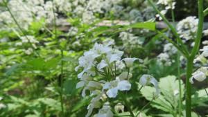 コンロンソウの花
