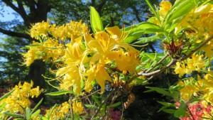 キバナツツジの花