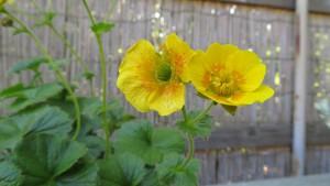 ミヤマダイコンソウの花