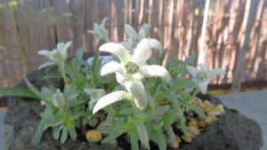 オオヒラウスユキソウの花