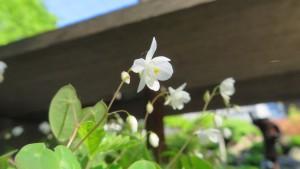 ヒメイカリソウの花