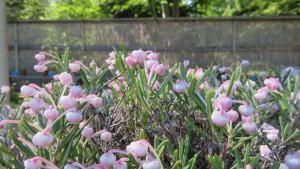 ヒメシャクナゲの花