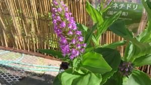 ノビネチドリの花