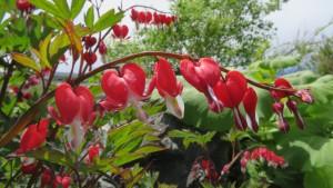 ディセントラ・スペクタビリス 'バレンタイン'の花