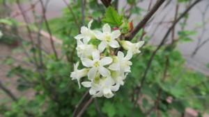 ハナスグリ 'ハンネマンズ ホワイト'の花