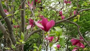マグノリア 'パープル プリンス'の花