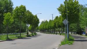 市道さとらんど1号線のカツラ並木