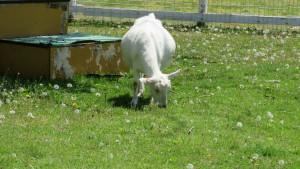 草を食べているヤギ