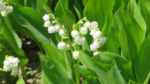 ドイツスズランの花