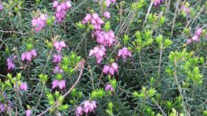 ピンクのエリカの花