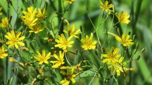 ジシバリの花