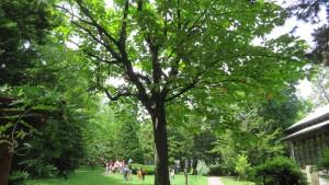 ホオノキと旧永山邸庭園