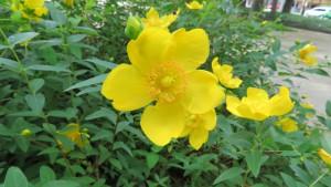 キンシバイの花