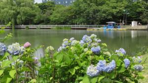 アジサイと菖蒲池