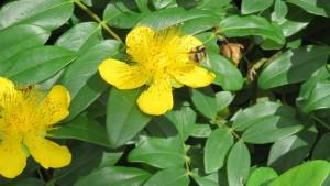 ビヨウヤナギの花