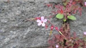 ヒメフウロの花と若い果実
