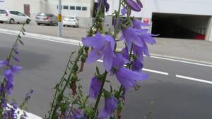 ハタザオギキョウの花