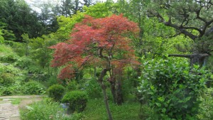 日本庭園のベニシダレ