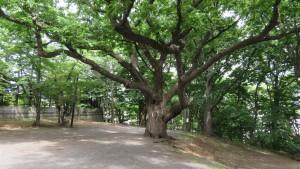 ご神木のシバグリ