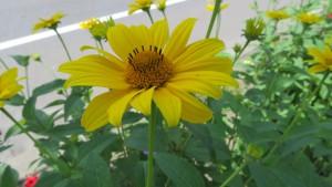 ヘリオプシスの花