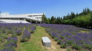 東海大学のラベンダー畑