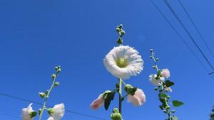 タチアオイの白い花