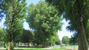 農試公園のポプラの巨木と野球場