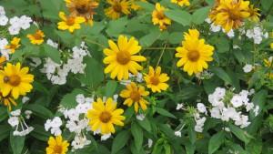 ヘリオプシスの黄色い花