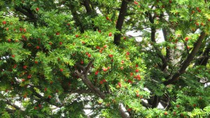 イチイの葉と赤い実