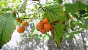 ガマズミの赤い果実