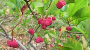 マユミの赤い果実