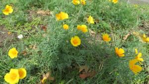 ハナビシソウの花