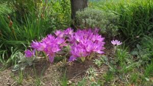 秋咲きクロッカスの花