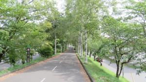 シラカバ並木とサイクリングロード
