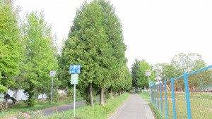 ニオイヒバの並木とサイクリングロード