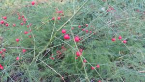 アスパラガスの赤い果実