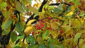 アズキナシの赤い果実