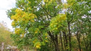 ハリギリの黄葉