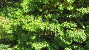 緑の葉が美しいアセビ