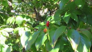 サンシュユの赤い果実