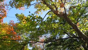 樹皮が美しいリョウブ