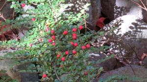 コケモモの赤い果実
