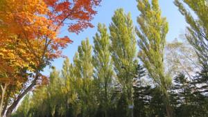 ポプラ並木とヤマモミジの紅葉