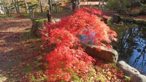 池とベニシダレの紅葉