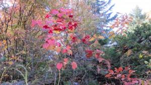 ガマズミの紅葉と赤い果実