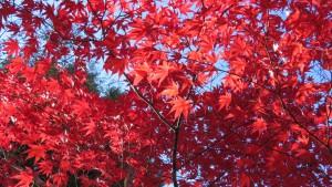 ノムラカエデの紅葉